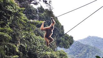 Hainan gibbon on a rope bridge