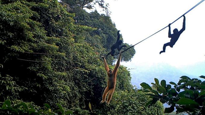 Hainan gibbons use a rope bridge
