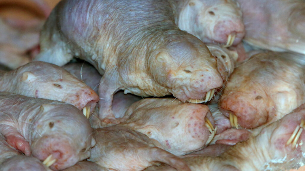 Naked mole-rats in a pile