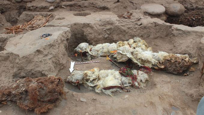 Excavation of four mummified llamas