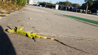 iguana motionless after Florida cold snap