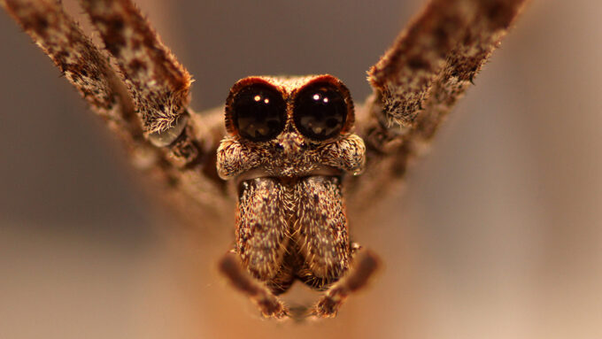 Ogre-faced spider