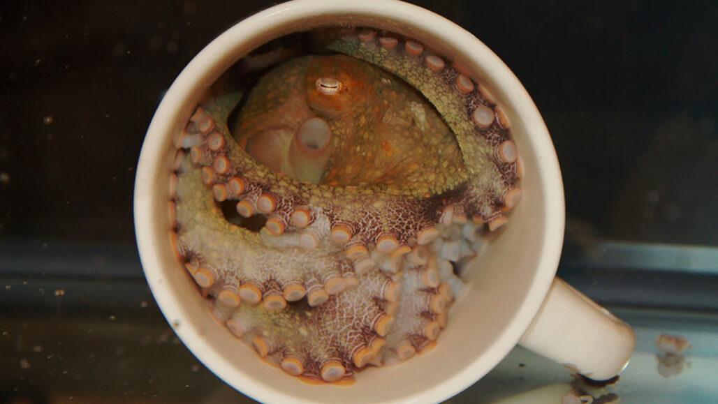 octopus in a coffee mug