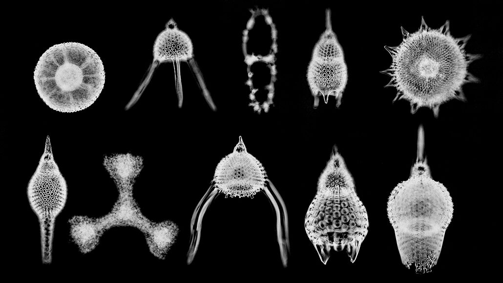 a microscopic image showing several radiolarians