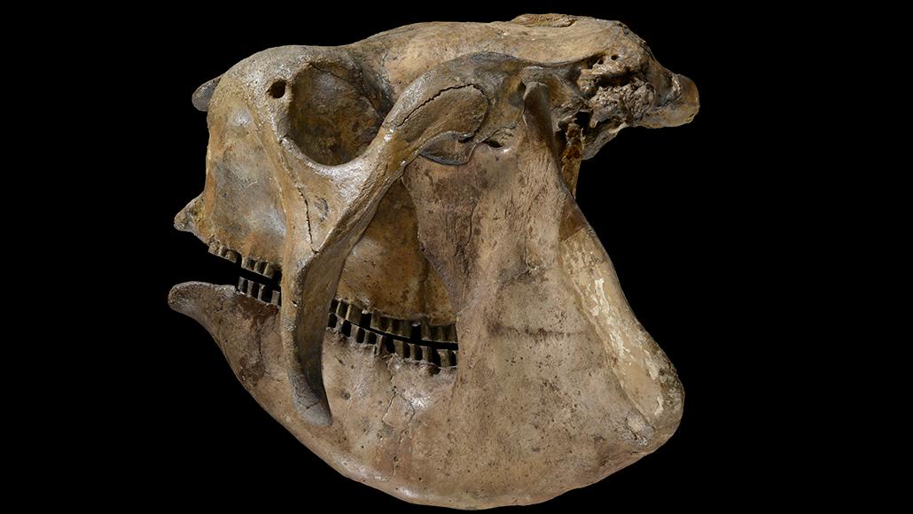skull of armadillo relative Glyptodon