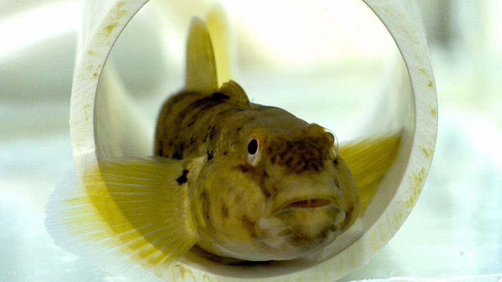Neogobius melanostomus