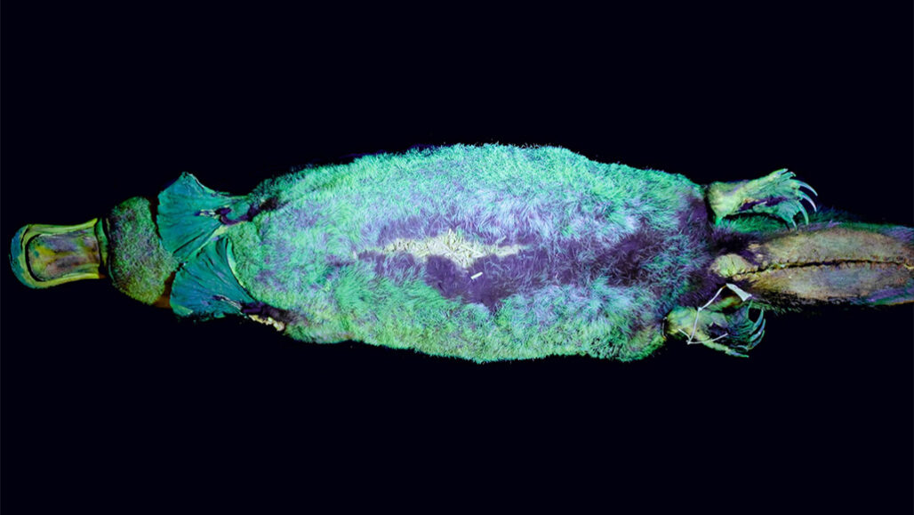 A blue-green glow adds to platypuses' long list of bizarre features 110420_cw_platypus_feat-1028x579