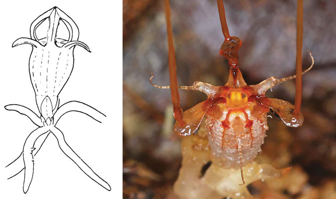 illustration of Thismia americana on the left, and photograph of Thismia neptunis on the right