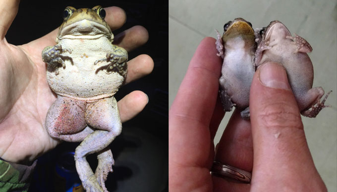 left: guttural toad in Durban. Right: guttural toads in Mauritius