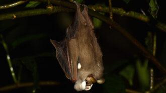 male wrinkle-faced bat