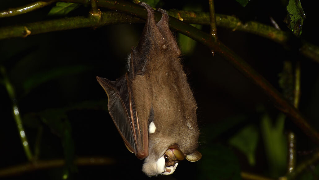 male wrinkle-faced bat