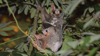 a colugo mother hanging in a tree with a baby colugo peeking over her leg