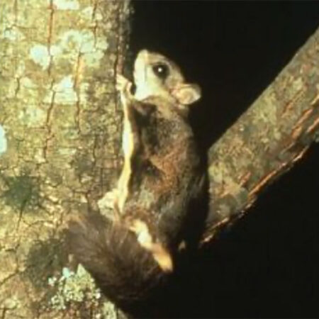 photo of a northern flying squirrel on a tree