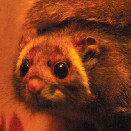 photo of a Japanese giant flying squirrel