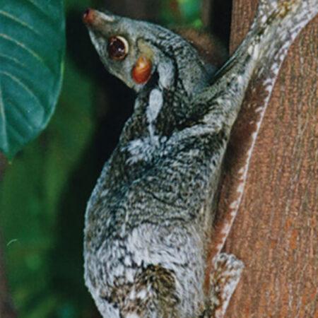 photo of a sunda colugo