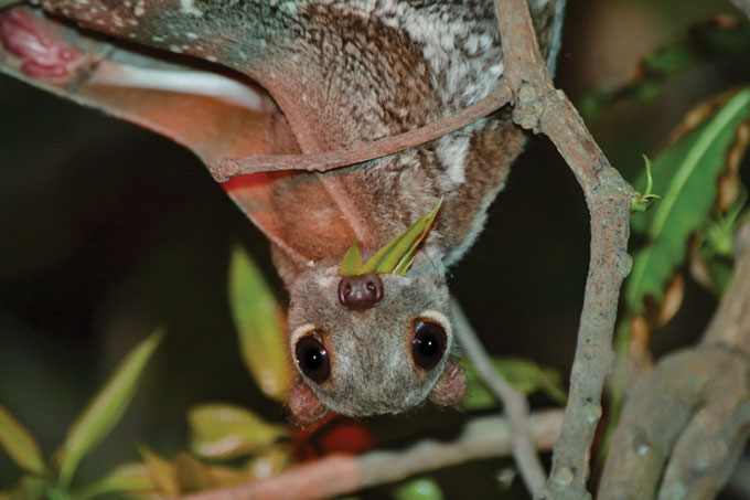 An upside-down colugo looking straight at the camera