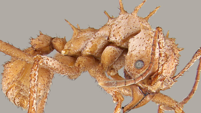 Worker ant with calcite mineral armor