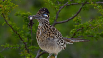photograph of a roadrunner with a lizard in its beak