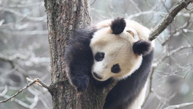 giant panda climbing a tree