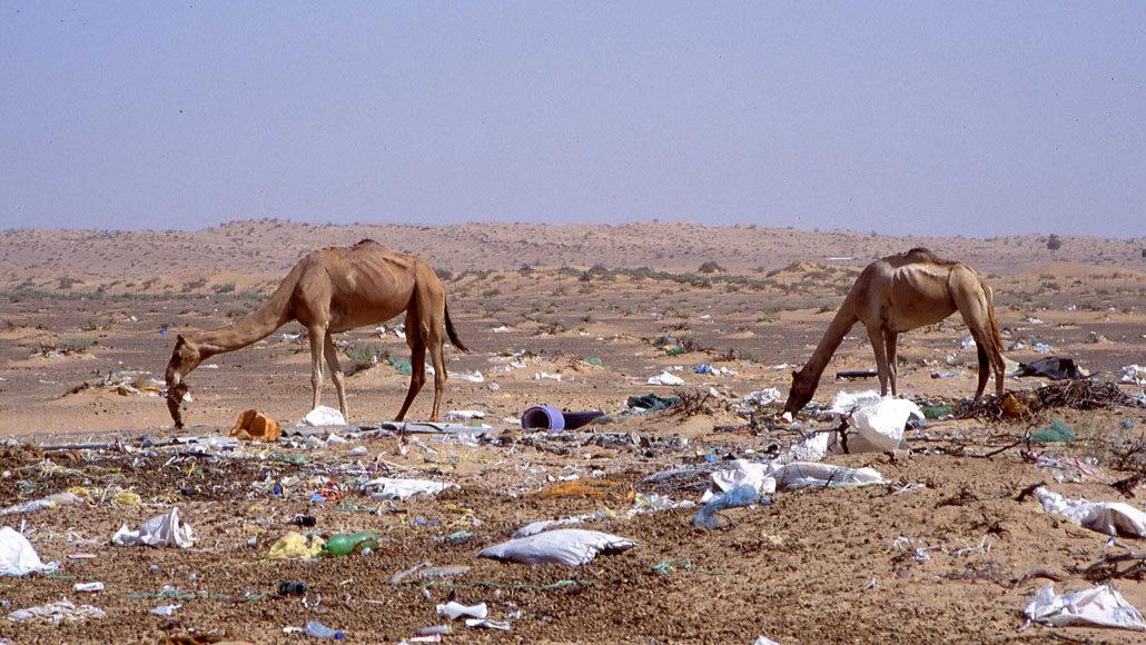 dromedary camels eating trash