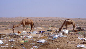 dromedary camels eating trash