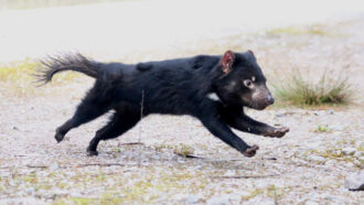 Tasmanian devils might survive a lethal face most cancers epidemic in spite of everything