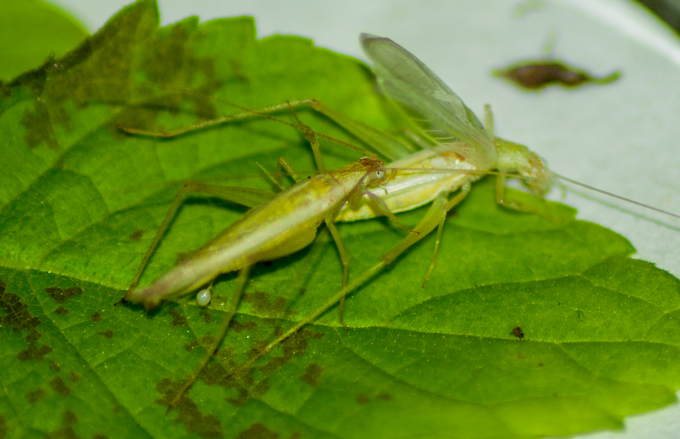 two tree crickets mating