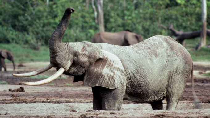 African elephant with trunk in air