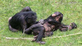 Bonobos grooming