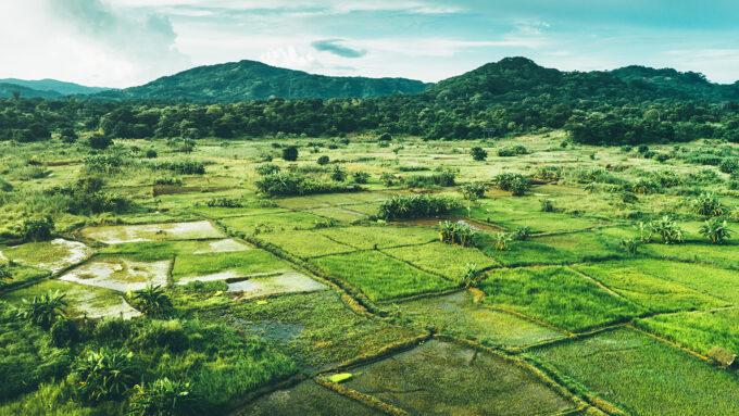 Malawi rice paddies