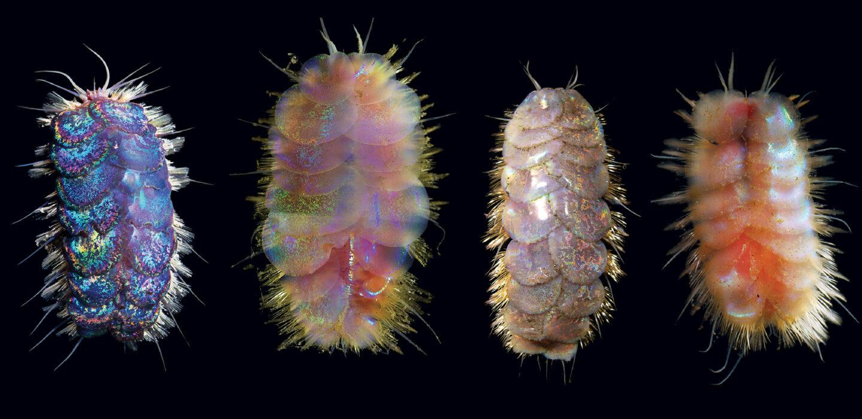 Elvis worms