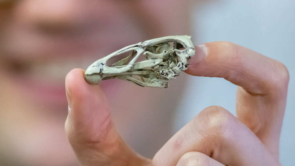 a 3-D printed skull of Asteriornis maastrichtensis