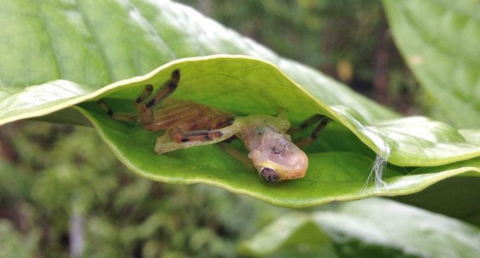 huntsman spider feeds on Madagascar reed frog