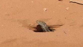 sand goanna monitor lizard