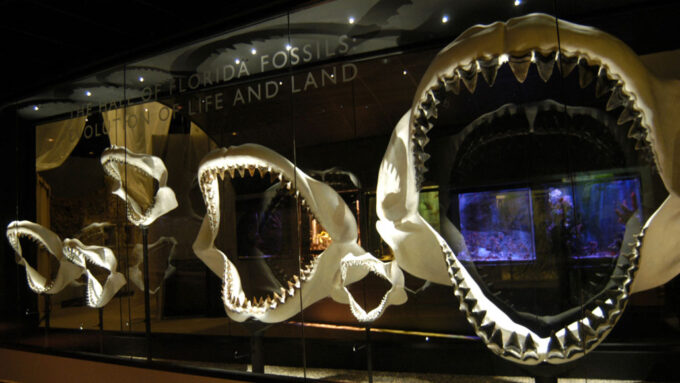 megalodon shark jaws