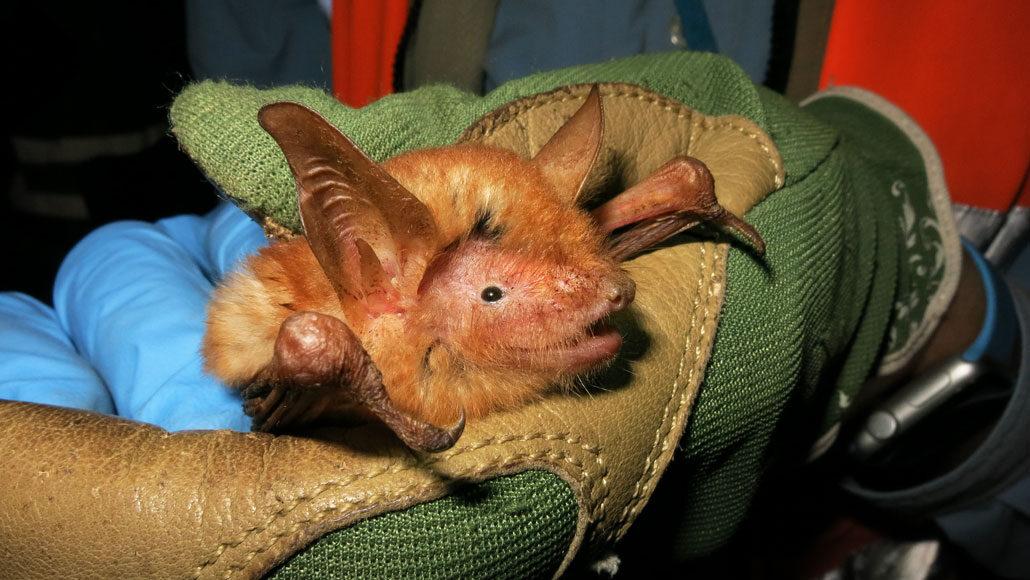 Orange and black bat species