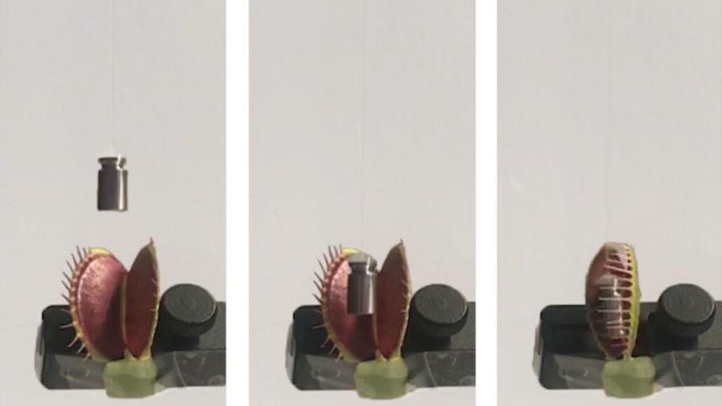 Venus flytrap grabbing a weight