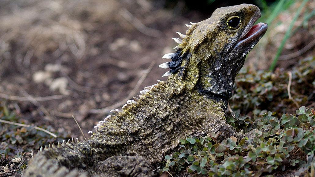 A tuatara, which looks like a spiny lizard