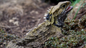A tuatara, which looks like a spiny lizard
