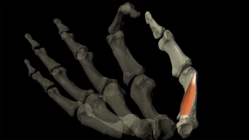 thumb muscle illustrated