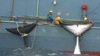 a photo of a whaling ship hauling in a catch