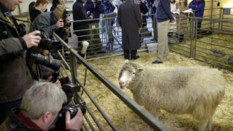 Dolly the Sheep surrounded by photographers