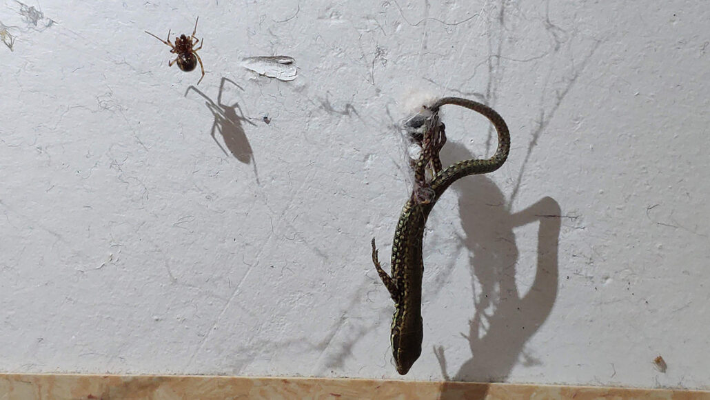 mall Steatoda spider hoisting a lizard