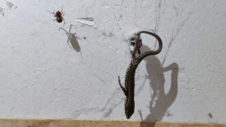 mallSteatodaspider hoisting a lizard