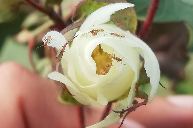 ants on a white cotton flower