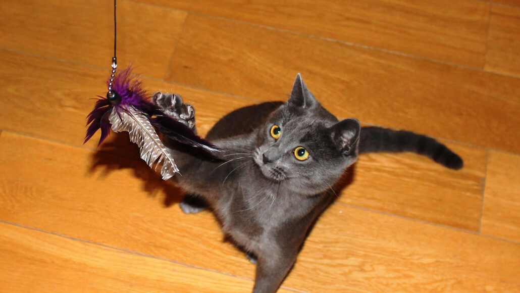 gray cat playing with cat toy