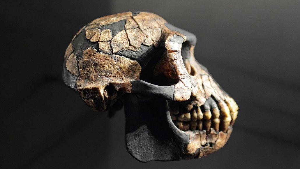 Ardi skull