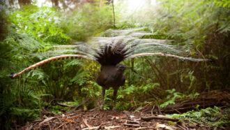 male superb lyrebird with feathers spread