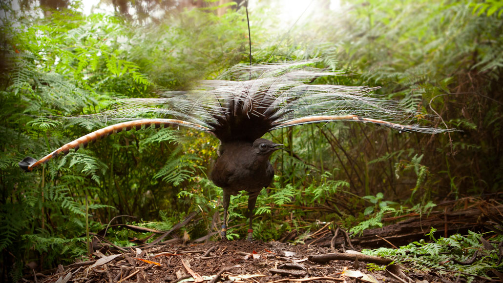 A single male lyrebird can mimic the sound of an entire flock