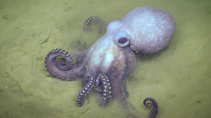 Muusoctopus johnsonianus octopus on the seafloor